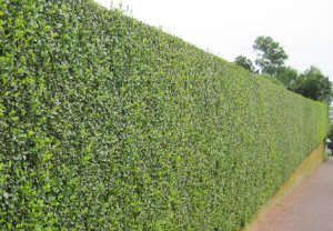 hedge-cutting-maintenance-brixton